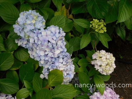 Website 2x watermark Hydrangeas in Karen Flagstad's garden before the tour copy