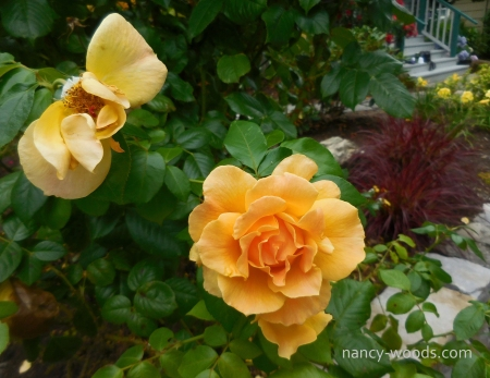 Website watermark Roses in Karen Flagstad's garden horiz 2x